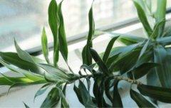 百合竹烂根怎么办 百合竹烂根最好的处