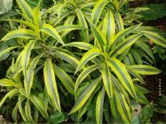 百合竹怎么养好养吗 百合竹这样养护越