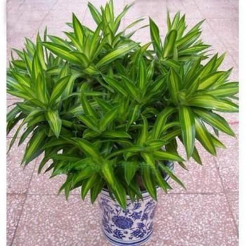 百合竹怎么修剪旺盛 手把手教你剪出漂亮的百合竹盆栽