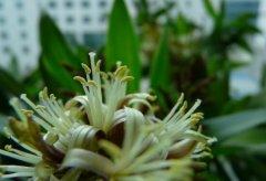 百合竹养几年才能开花  百合竹开花风水寓意好吗