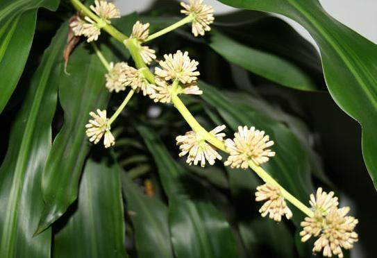 巴西美人植物开花寓意如何 养巴西美人风水寓意及禁忌介绍