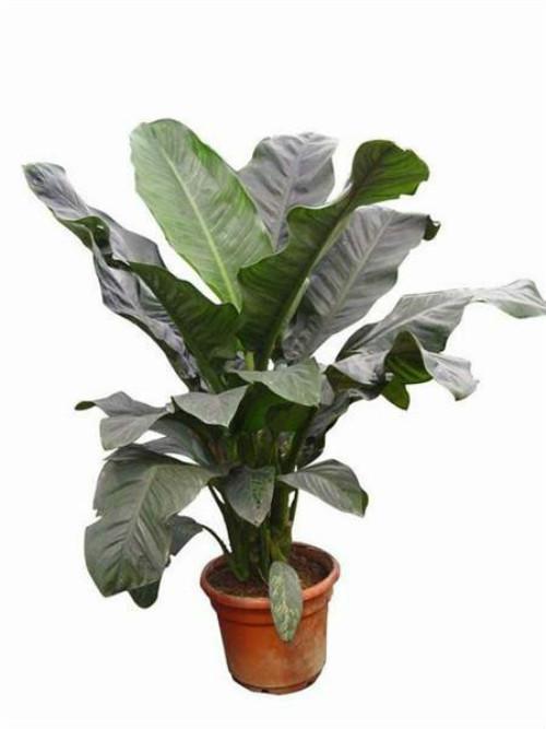 绿霸王能开花吗什么时候开花 绿霸王开花应该怎么养护