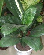 绿霸王植物怎么养 绿霸王的养殖方法及