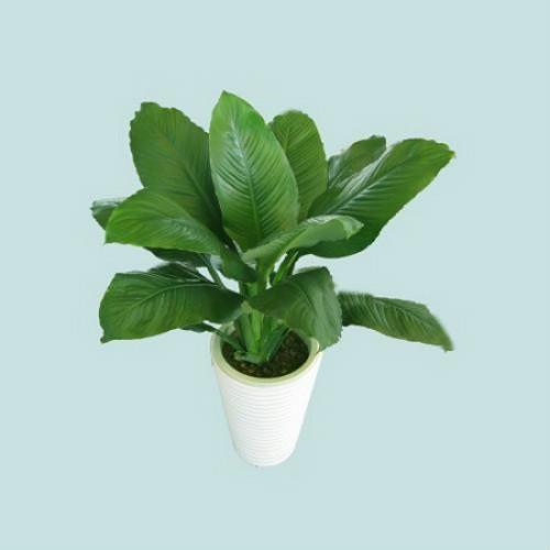 绿霸王植物怎么养 绿霸王的养殖方法及注意事项看这里