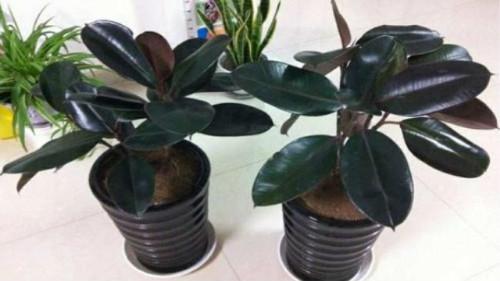 印度榕怎么养长得好 手把手教你养出漂亮的印度榕盆栽