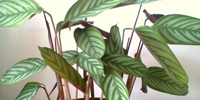 红背竹芋卷叶怎么回事 注意这3点能解决红背竹芋叶卷问题