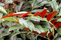 红背桂花怎么养长得好 红背桂花的养护