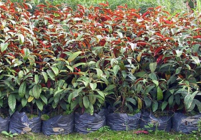 红背桂花怎么养长得好 红背桂花的养护方法看这里