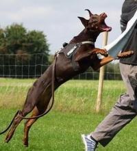 杜宾犬的优点和缺点,新手一定要知道!