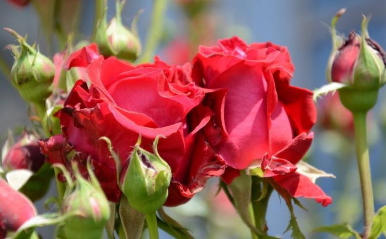 月季花禁忌_月季花种在大门前好吗 带刺影响风水吗有哪些禁忌