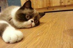 猫瘟有什么症状吗?猫瘟潜伏期的症状请注意