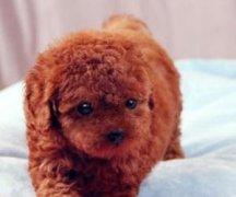 贵宾犬什么颜色最贵?贵宾犬颜色分类和选购技巧