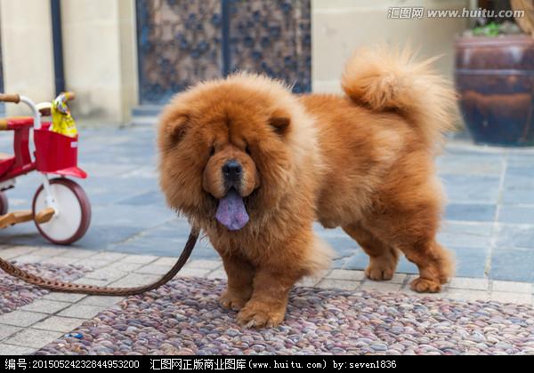 松狮犬的性格_松狮犬好养吗?松狮犬的优缺点对比