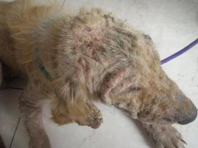猫得螨虫的症状_狗狗得螨虫症状有哪些?犬患螨虫的三大症状