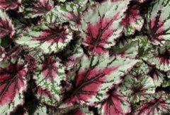 蟆叶秋海棠怎么过冬 蟆叶秋海棠冬季养护方法看这里