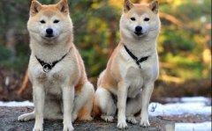 秋田犬为什么禁养?秋田犬被禁养的四大原因