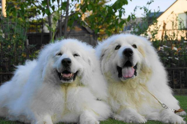 大白熊犬好不好养?大白熊犬的优缺点对比