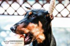 杜宾犬为什么要断尾裁耳?杜宾犬断尾裁耳不为人知的三大原因