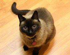 养暹罗猫有什么忌讳?养暹罗猫的六大
