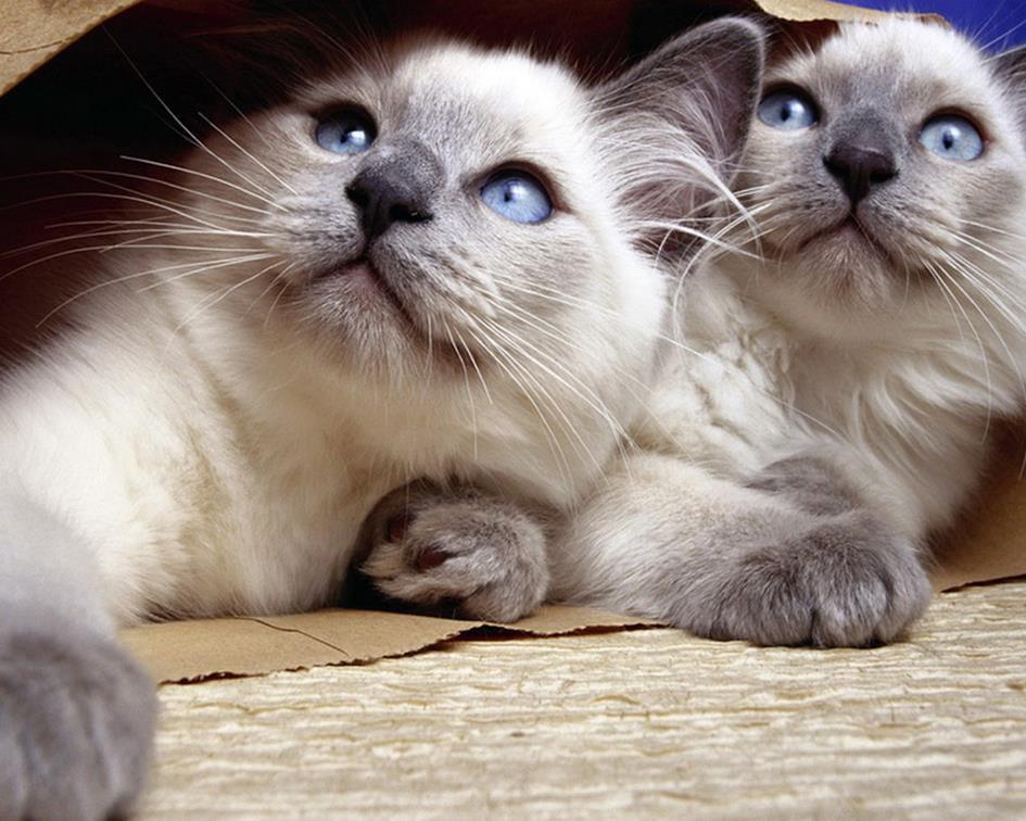 养暹罗猫有什么忌讳?养暹罗猫的六大注意事项